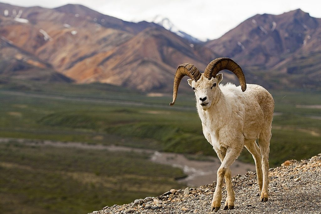 Dall Sheep Denali