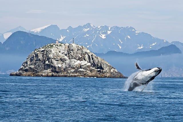 humpback whales glacier bay